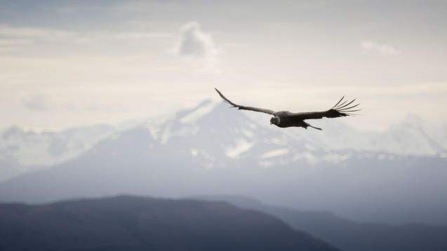 Condor flying at Ultra Fiord in Ultima Esperanza, Patagonia, Chile