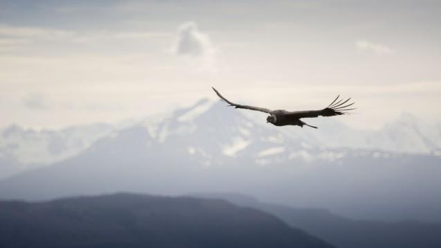 Condor flying at Ultra Fiord in Ultima Esperanza, Patagonia, Chile