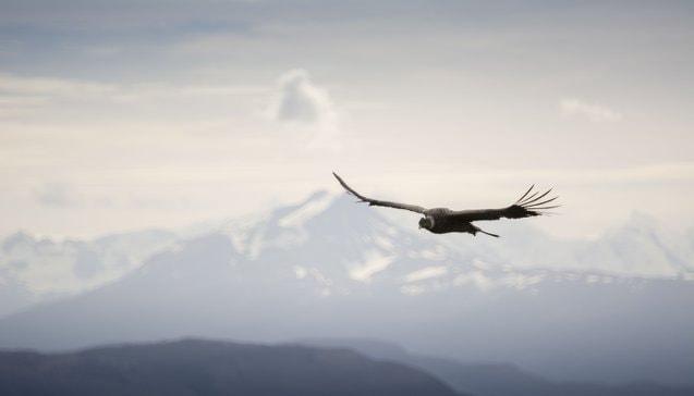 UF Walter Alvial 2179 Condor Patagonia Chile Ultra Fiord